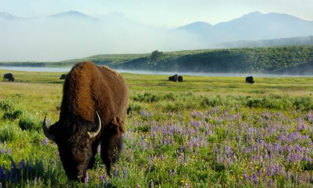 381-34501-Yellowstone_National_Park_Upper_Loop_and_Wildlife_Tour_lg.jpeg